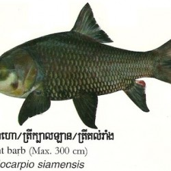 Giant Mekong Barb: The National Fish of Cambodia