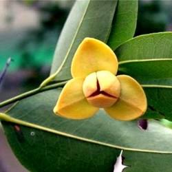 Romduol Flower (Metralla mesnyi): The National Flower of Cambodia