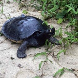 Royal Turtle: The National Reptile of Cambodia